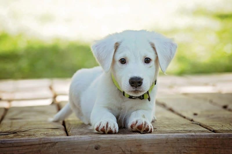 Great dog names by color: white/blonde puppy